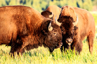 Grand Teton Bisons