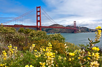 Golden Gate Lupine