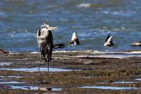 GBH on the Mudflats