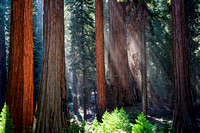 Young Sequoias